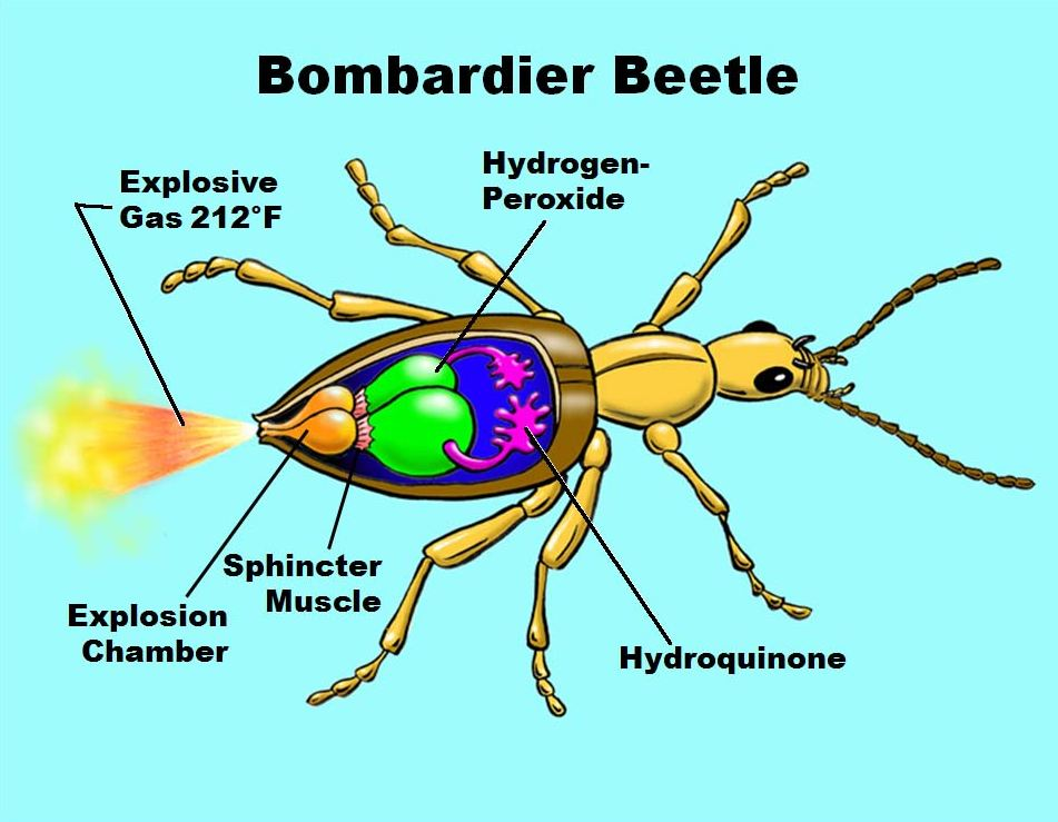 Bombardier-Beetle